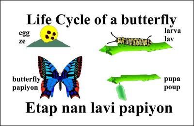 Butterfly Life Cycle / Etap nan lavi Papiyon, Bil.